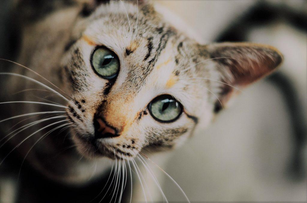 Bigotes de gato
